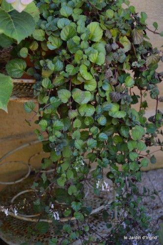 17 meilleures id es propos de plantes retombantes sur for Plante grasse exterieur rustique
