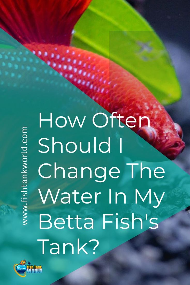 How Often Should You Change The Water In Your Betta Fish Tank Fish Tank World Betta Fish Tank Betta Betta Fish