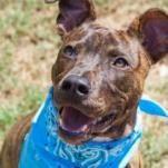 Plott Hound dog for Adoption in Austin, TX. ADN-517299 on PuppyFinder.com Gender: Male. Age: Adult