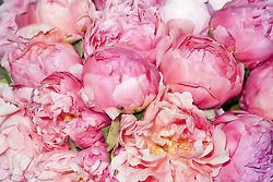 fl-orish:peonies: Pink Roses, Favorite Flowers, Favorite Things, Inspiration, Wedding, Beautiful Flowers, Garden, Pink Peonies, Terry Richardson
