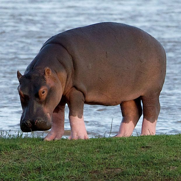 Pink boots! This hippopotamus looks like she is wearing pink boots as she grazes on grass by a riverbank. It is thought the hippo has a skin condition characterised by reduced pigmentation. Photographer Peter Gordon snapped the rare sight in Tanzania.