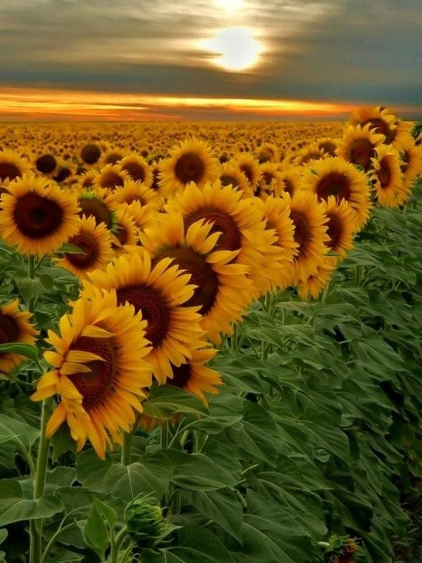 beau champ de tournesols
