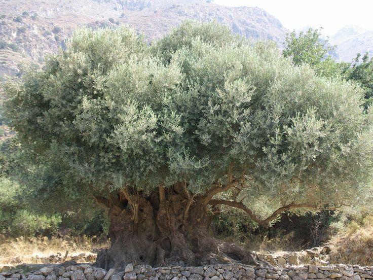 Olive tree close to Mochlos village, Crete