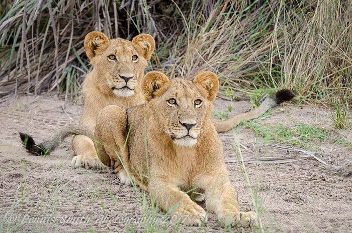 Our lioness with cubs is doing very well raising her three young males here on the Jao Floodplain.