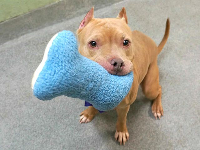 CLOE aka NADYA – A1099851 Supercute very affectionate and well mannered beginners dog girl is on death list today! If you would like to foster or adopt and can't make it to the shelter, please write an email NOW to the Urgent Help Desk at Helpdogs@Urgentpodr.org Their experienced volunteers will assist you one-on-one with rescues and the application process. Transport can be arranged by rescues to the homes of approved fosters or adopters within 3-4 hours of New York City