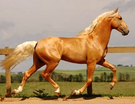 Elite golden palomino Lusitano stallion