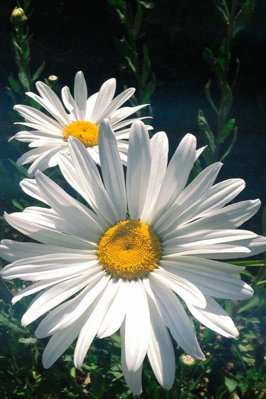 "tulipnight: "" Shasta Daisies by Marishka Gourno """
