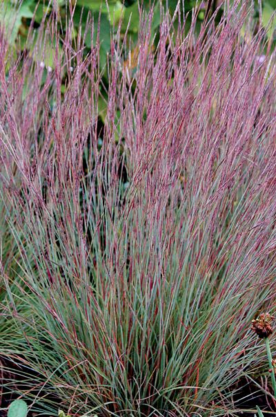 112 best waterwise grasses images on pinterest for Ornamental prairie grass