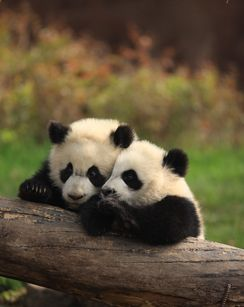 Overview - Chengdu Research Base of Giant Panda Breeding