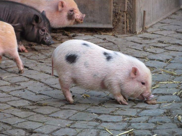 ber ideen zu minischweine auf pinterest schweine minischwein und ferkel. Black Bedroom Furniture Sets. Home Design Ideas