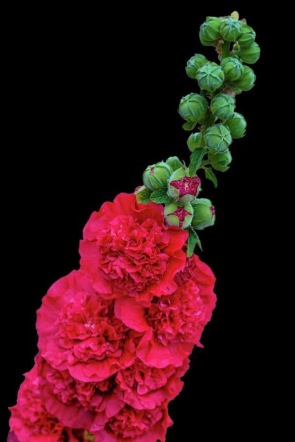 George Westermak Photograph - Beautiful Flowering Mallow by George Westermak#GeorgeWestermakFineArtPhotography #ArtForHome #FineArtPrints #Flowers