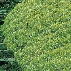 Ground Cover Plants Irish Moss The Low Growing Quick Spreading Quality Of Is Ideal For Filling In Es Outside 15 Sections