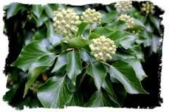 Image result for berried ivy