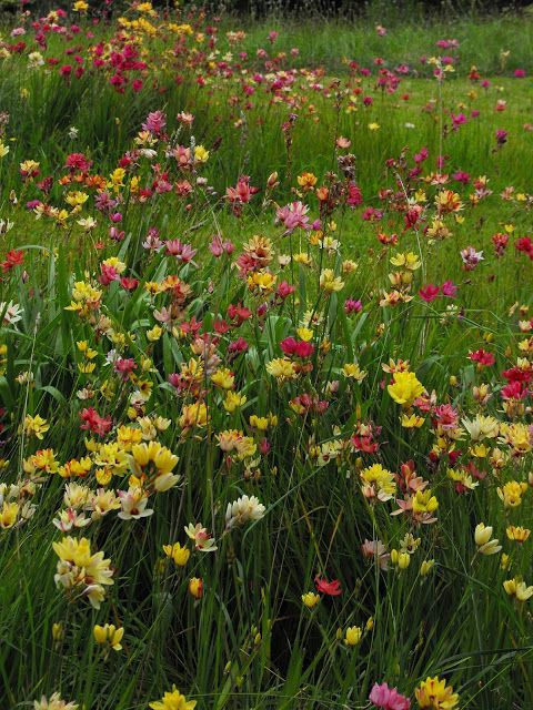 Ixia flowers naturalised in my wildflower garden
