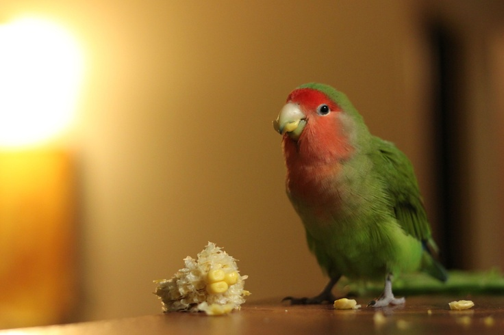 A peach faced lovebird snacking on some corn on the cob. I need to remember to try giving my bird this!