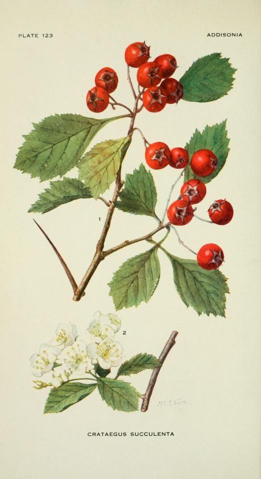 v.4 (1919) - Addisonia : - Biodiversity Heritage Library - thorn