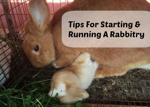 Listen to this podcast for great tips for starting and running a rabbitry on your backyard farm! #rabbits