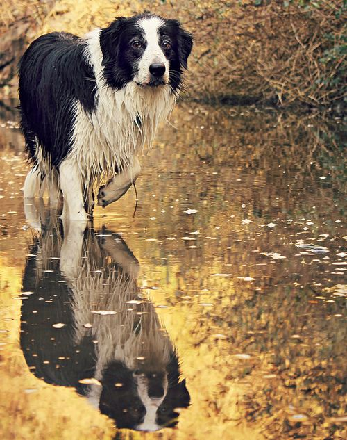 Something about this photo really captured for me the essence of the Border Collie. Looks like Blue.