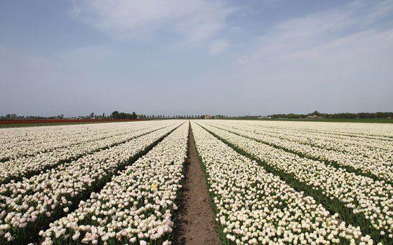 Tulip season in Holland - Holland.com