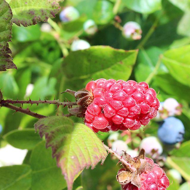 #Piante #Rubus #Tayberry - Spedizione Gratuita da € 50 - via @europlantsvivai