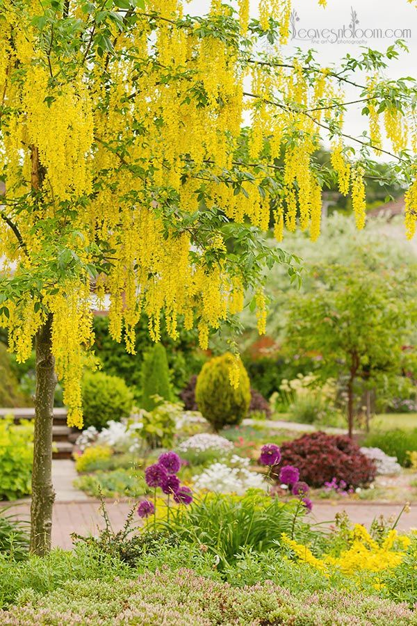 Laburnum tree blooms in Perthshire floral photographer Rosie Nixon's June garden in Scotland. www.leavesnbloom.com