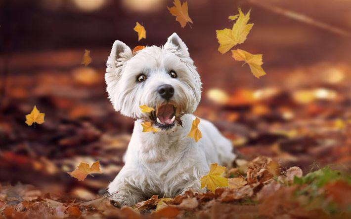 Download imagens West Highland White Terrier, branca filhote de cachorro, folhas de outono, cachorro, outono, animais fofos