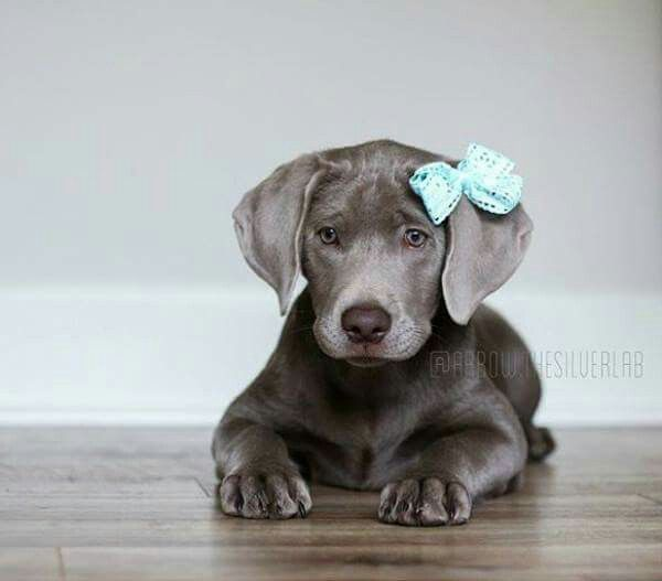 Beautiful weimaraner puppy