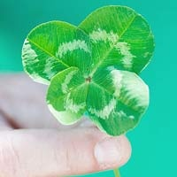 The leaves of four-leaf clovers are said to stand for faith, hope, love, and luck.  #funfact #stpatricksday
