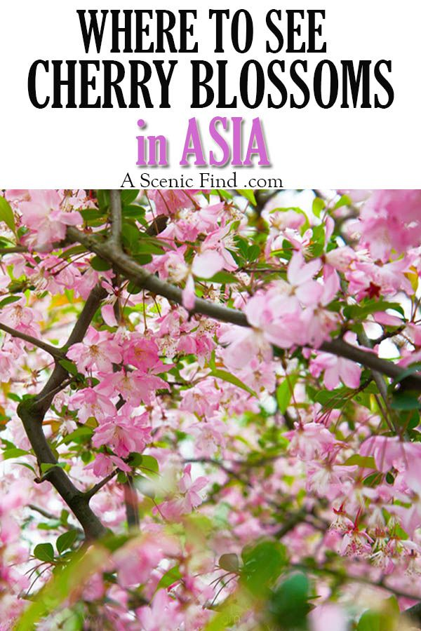 Where To See Cherry Blossoms In Asia Japan South Korea China A Scenic Find Asia Destinations Travel Destinations Asia Asia Travel