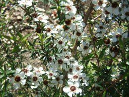Leptospermum scoparium - Manuka in flower (October). Tolerates dry or wet but needs light.