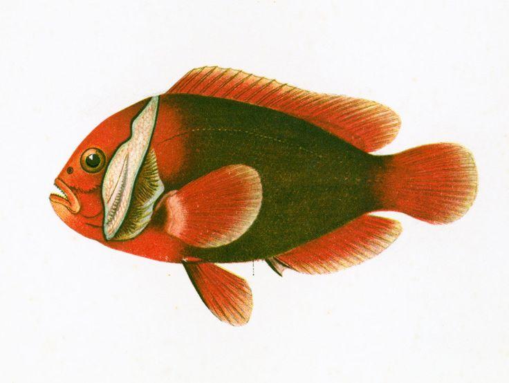 1932 Poisson-clown. Amphiprion. Gravure Originale. Poisson Tropical. Ichtyologie Asie Pacifique Ocean Indien. de la boutique sofrenchvintage sur Etsy