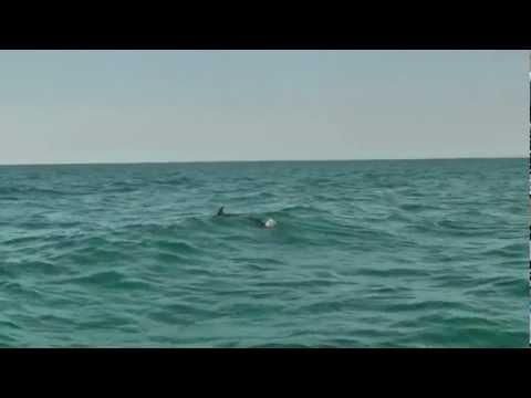 Minke Whales off the Hastings coastline