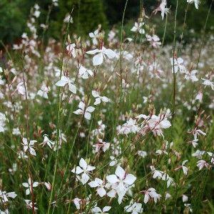Gaura lindheimeri 'Whirling Butterflies' - Gaura vivace blanche