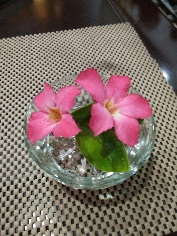 Kuntum Adenium segar untuk hiasan meja