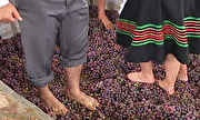 Globo Rural - Turistas revivem tradição de pisar em uvas em São Roque (SP)   globo.tv
