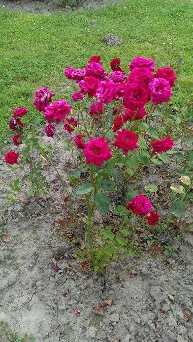 További rózsa