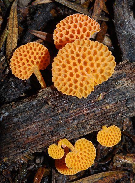 **Orange pore fungi (Favolaschia Calocera)