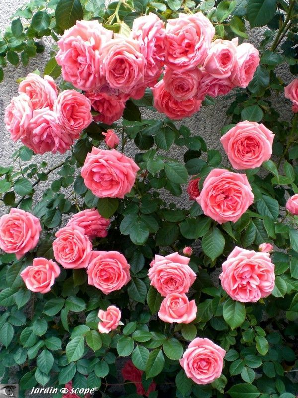 les 239 meilleures images du tableau mon jardin de roses sur pinterest mon jardin vigoureux. Black Bedroom Furniture Sets. Home Design Ideas