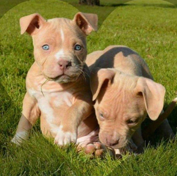 Baby Pits With Blue Eyes Pitbulls Pinterest