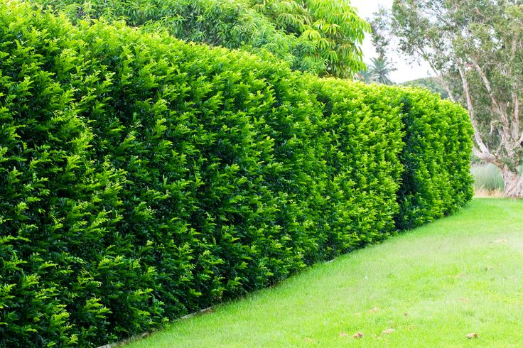 Murraya Hedge - All too often the front garden is a kind of no-man's-land. It's not really used for anything, and whenever you go out there you're in...