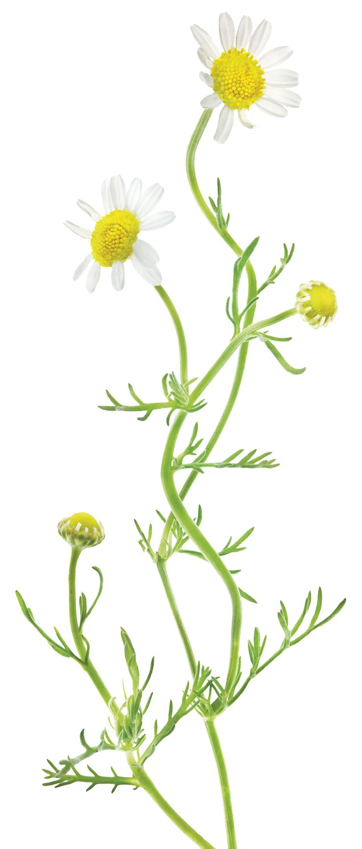 One of the most widely used and well-loved herbs of the world, we adore…