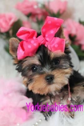 ❤️️Cutest Dogs ~ Teacup Yorkie