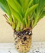 Orkide Nasıl Çoğaltılır Orkide üretiminin bir kaç değişik yolu var. Laboratuvar ortamına ihtiyaç duyan üretim şekilleri gerçekten çok güç ortamlar. Ev için en uygun üretim yöntemleri vejetatif üretim yolları. Hem daha hızlı çiçekli bitkiler elde edilebiliyor hemde uygulaması kolay yollar. Tohumla üretim Dünyanın en küçük tohumlu bitkisi orkideler. Bir aspirin ağırlığına yüz bin orkide tohumu …