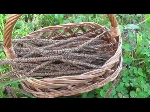 #13 Semínka jitrocele  1.díl - malé semínko s velkým detoxikačním potenciálem - YouTube