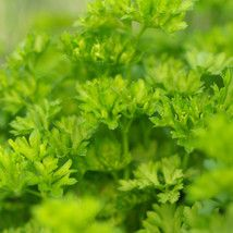 Petroselinum crispum Parsley Parsley - 9 cm