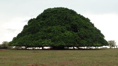semillas-arbol-de-la-lluvia-samanea-saman-630001-MCO20260525906_032015-O.jpg (500×281)