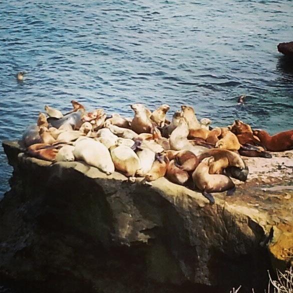 Seals and sea lions in La Jolla, San Diego! #seal #sealion #sandiego #california #alisdsu