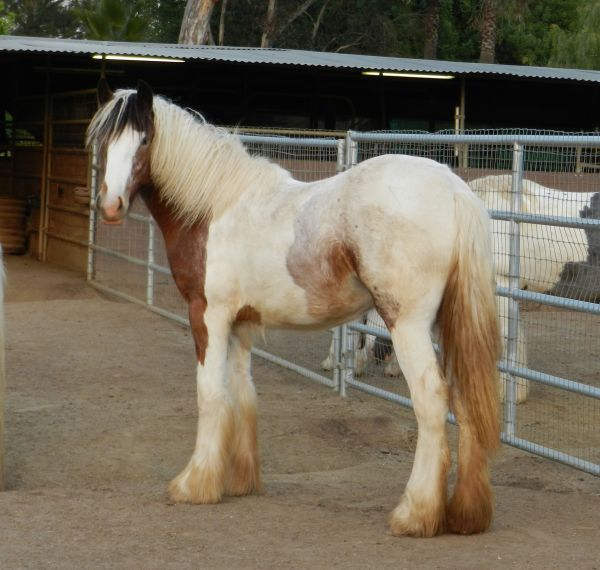 Bay Roan Gypsy Vanner Filly, Royal Apolloette for sale