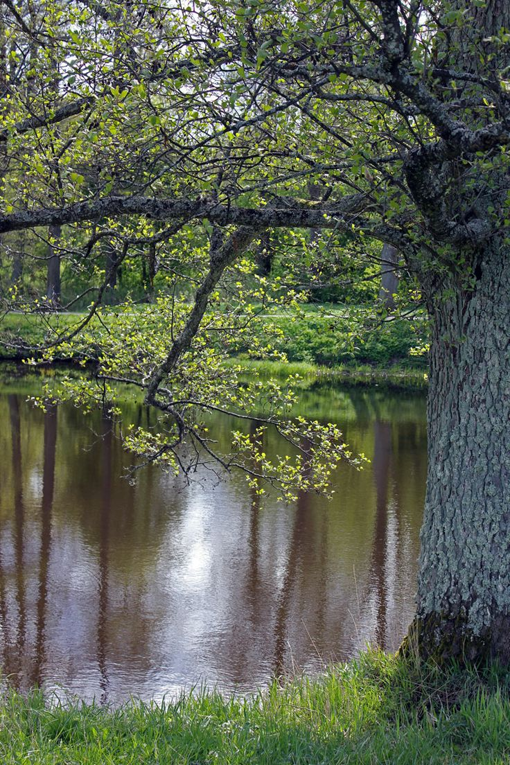 Tree by the river Svartån.