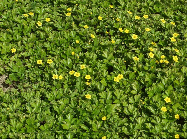 Rönsyansikka Maanpeitekasvi kuivemmillekin paikoille,  leviää voimakkasti,kestää kulutusta ja  kukkii keltaisena merenä  alkukesästä.  Erittäin helppohoitoinen ja yksi parhaista maanpeittoperennoista.  korkeus: 20 cm  kasvupaikka: Auringosta varjoon  väri: Keltainen  kukinta-aika: Touko-kesäkuu